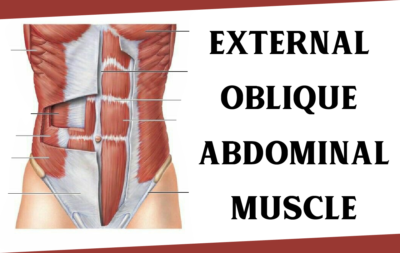 External Oblique Abdominal Muscle – Origin, Function and All